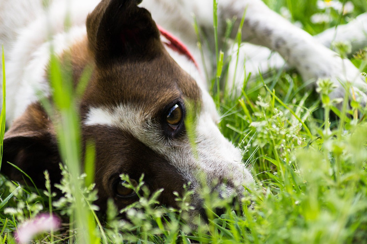 Does Your Dog Have Pollen Allergies? | VetDERM Clinic